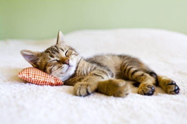 Sueño de gato