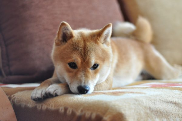 Posiciones de sueño en perros Sleeping Pet