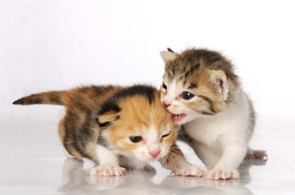 Cariño de gato