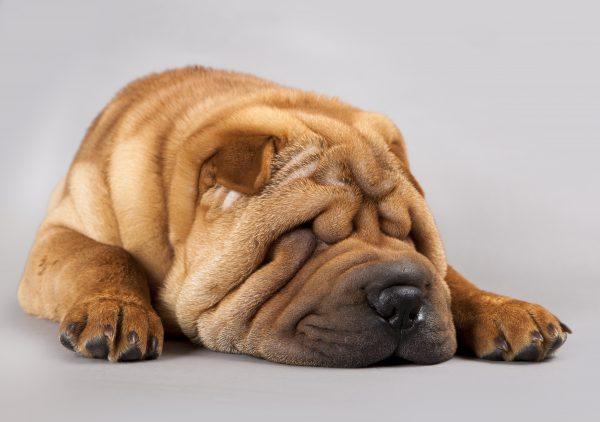 Posiciones de sueño en perros 3 Sleeping Pet